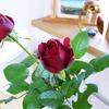 【バラの初心者】イングリッド・バーグマンに元気をもらっています。