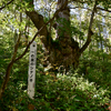 長野県天然記念物「一の瀬のしなのき」と発哺温泉