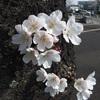 お花見メレンゲ