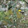 徳島で出会った植物-31.イタビカズラ-
