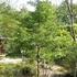 「チサノキ」って、どんな木? これが分かる人は、そこそこ凄い!! 「歌舞伎にも登場するよ」と答えた人は、もっと凄い!! さて、「チサノキ」とは?!