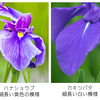 似ている花、植物の見分け方。アヤメ、ムクゲ、ボタン、ハス、etc.