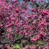 清澄庭園の寒緋桜が見頃です。