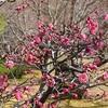 智積院の紅梅の開花状況2020。