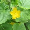 ウリ科野菜の花と実