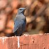 カオヤイの野鳥その1(2014 0127)