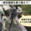断脚を行なった犬、術後の様子