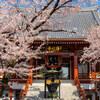 【文京区】浄心寺の桜