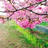 静岡市の河津桜(美和桜)が満開だったので見に行ってきた