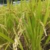 稲作体験 ~除草編~ お米を作るのは大変なんですね!
