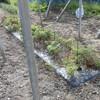 マンマミーア(ミニトマト)畝の除草