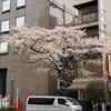 桜、さくら、サクラ2019