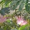 ねむの木❤今年も咲きました🎶