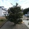 芽だ!みかんの木の芽が出てるよ~\(^o^)/