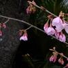 住吉神社近くの寒桜が咲き始めました