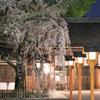 平野神社で魁桜を愛でる夜@2021 その2