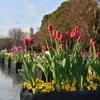 🌷上野公園でチューリップと桜を撮影しました🌸