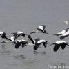 Wood Stork (ウッド ストーク)の飛ぶ姿を上面から見る