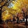 札幌市 北大銀杏並木 20181029 / 金葉祭の翌日