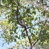 カンムリカイツブリ2羽・イカル3羽・ウグイスの地上採餌(大阪城野鳥探鳥20210130 6:40-12:20)
