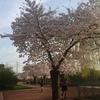 桜のその後と、南ドイツへの出張。