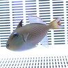 ホシモンガラ メス(1匹) 8-10cm±! 海水魚 モンガラ 餌付け15時までのご注文で当日発送【ハギ】