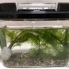 【めだかの学校】白メダカの金魚藻「カモンバ」・藻の切り戻し
