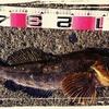 50cm超えのアイナメキャッチ!簡単ノットで根魚釣り入門!