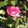 ツバキとサザンカ 2種の似た花の違いとは?