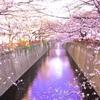 久しぶりです。目黒川の桜です。