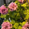 酷暑に咲くバラ