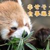 【動物ひとコマ#5】レッサーパンダの幸せそうな食事風景【野毛山動物園】