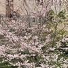 【桜を見る会】不要不急の外出は避けて、庭で花見BBQなんてどうでしょう!!