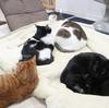 これはレアなケースです!猫が5匹集まって寝てる。