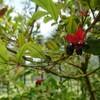 新宿御苑で見た植物⑰ ミッキーマウスの木(オクナ・セルラタ)