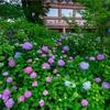 京都・東山 - 智積院 金堂裏に咲く紫陽花