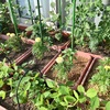 シシトウとピーマンの定植とオクラの移植