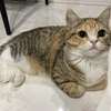 可愛いマンチカン子猫の肉球写真💕