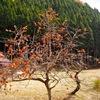 人気者の柿の木