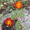 開花が続く^ ^