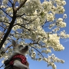今年も、愛犬と一緒に桜が見れたことに喜びを隠せない。ただ、それだけど、それが幸せということ。