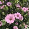 こんなに取れる!咲き終わった花は種を自家採種する!【ピンクカスミソウ編】