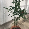 唐辛子の収穫と保存方法5選