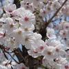 平成  最後の桜