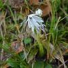 ツクシショウジョウバカマ  が咲き始めました。