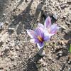 サフランの開花