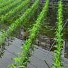 くわい畑とチチキチ 雨の出羽公園撮影