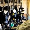 牛祭り  北海道酪農