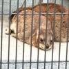 【京都】岡崎の京都市動物園でケープハイラックスのチィちゃんに会ってきました。