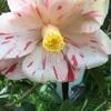 春の台咲く 咲いたの始めて?